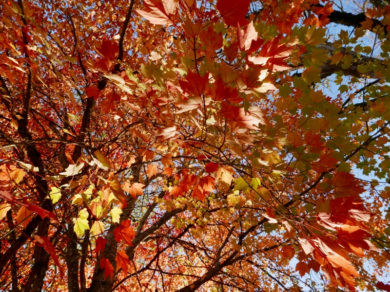 Red maple leaves and branches in late afternoon sunlight