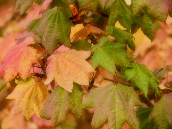 Vine maple leaves in autumn