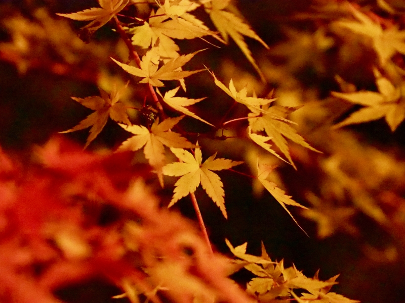 Yellow maple leaves at night