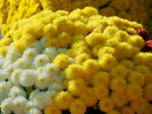 Yellow and white mums with a few red ones
