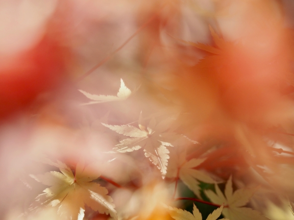 Yellow maple leaves and soft orange blur