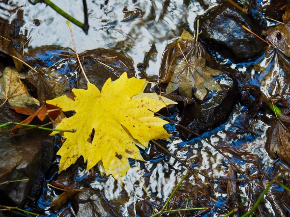 Yellow maple leaf in smaill stream