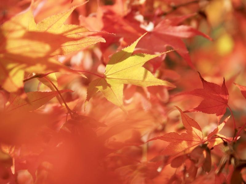 Yellow and orange Japanese maple leaves
