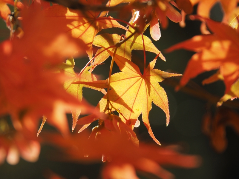 Orange Japanese maple leaves backlit by sun