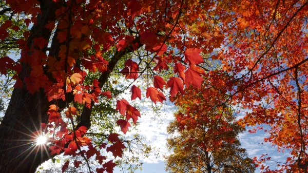 Red maple leaves backlit by sunburst
