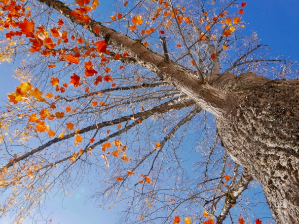 Orange and yellow poplar leaves, branches and tree trunk and blue sky