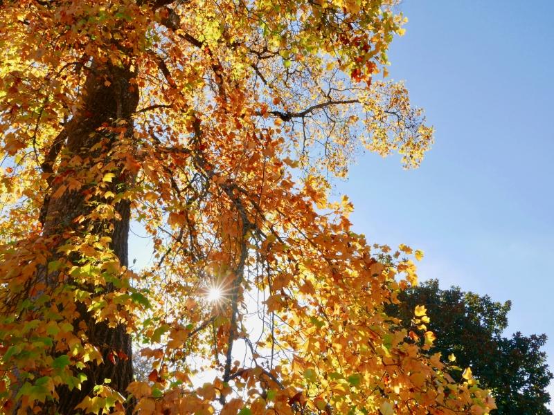 Sunburst through golden leaves of big tree