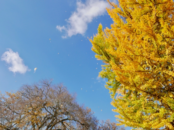 Blue sky, bare tree and many yellow leaves falling from large ginkgo tree