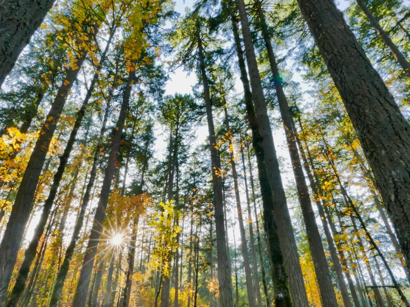 Forest of large trees with golden leaves and sunburst in background