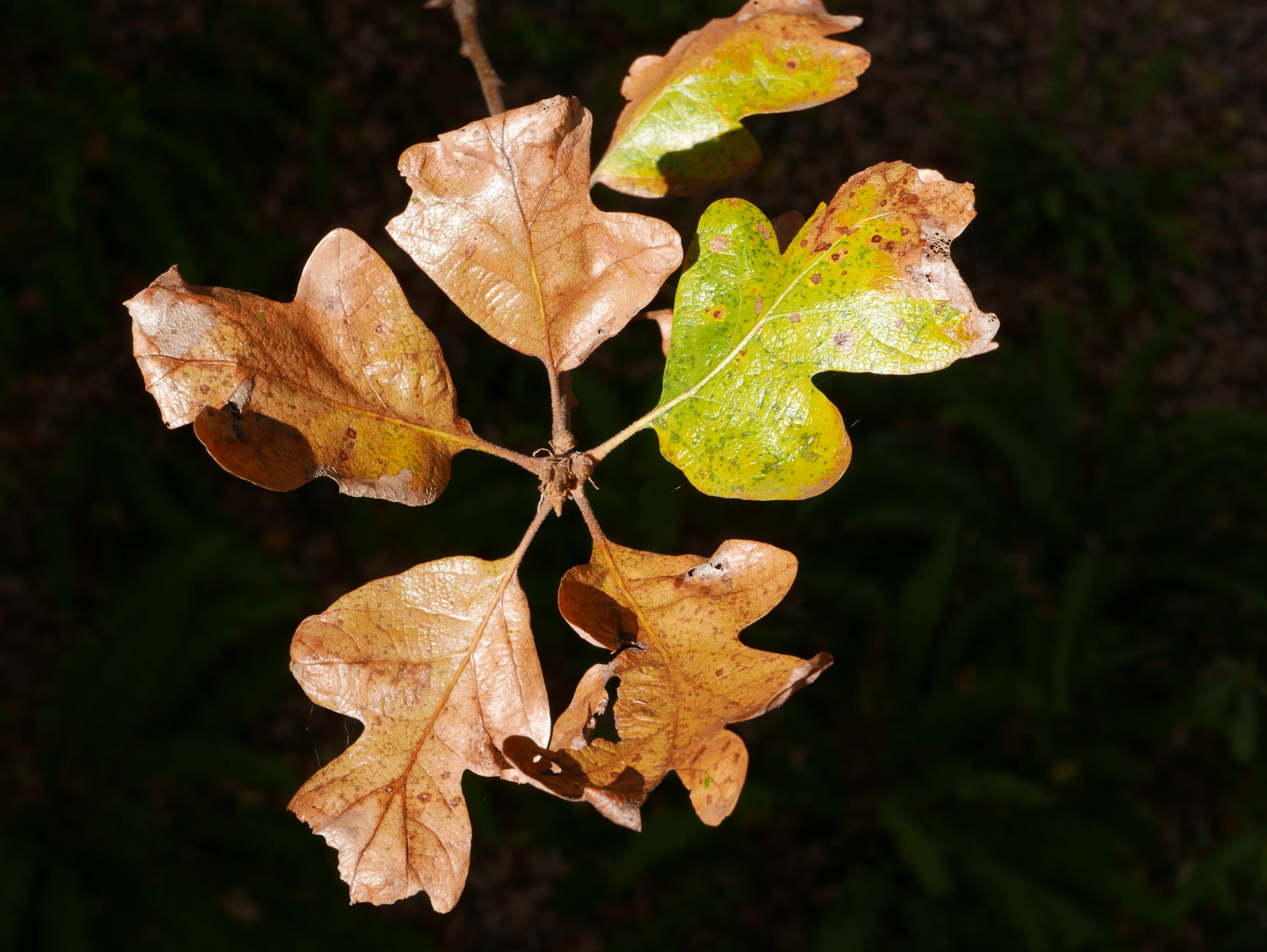 Brown and green oak leaves