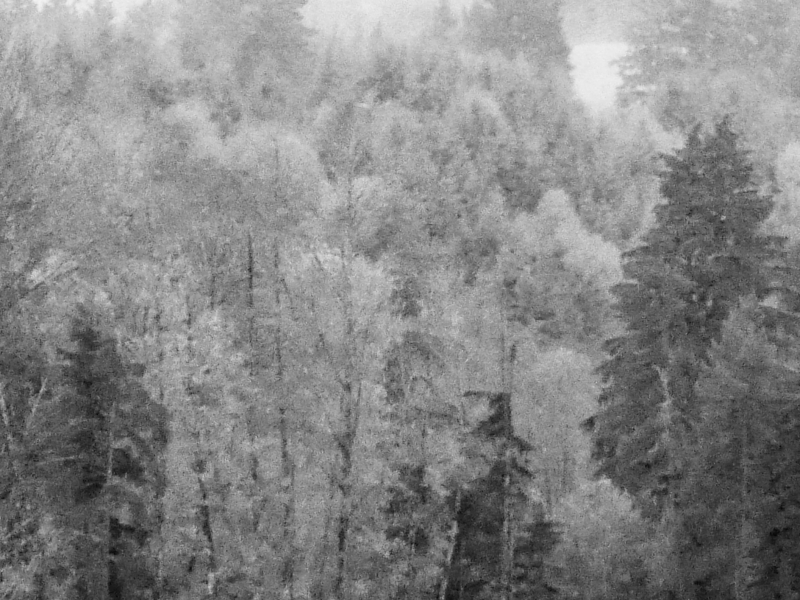 snowy-looking black & white forest