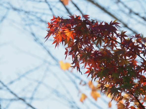 Orange and green maple leaves on diagonal branches