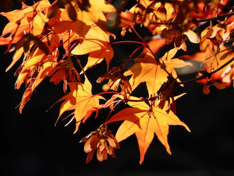 Orange Japanese maple leaves and samaras with black background