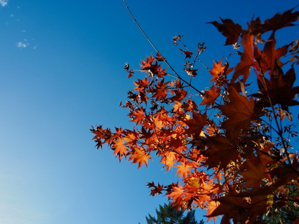 Orange maple leaves reaching upward into blue sky