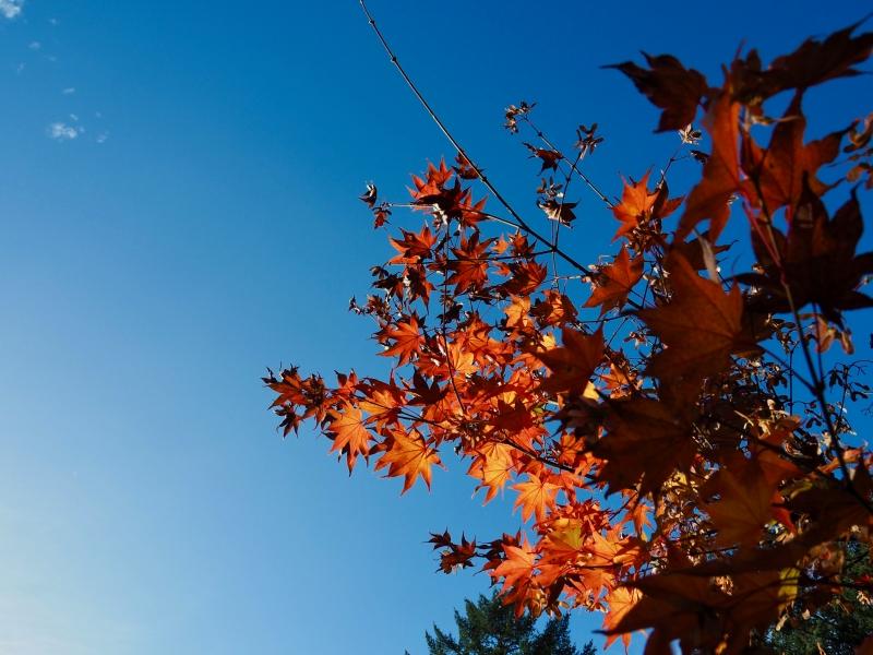 Orange maple leaves reaching upward into blue sky
