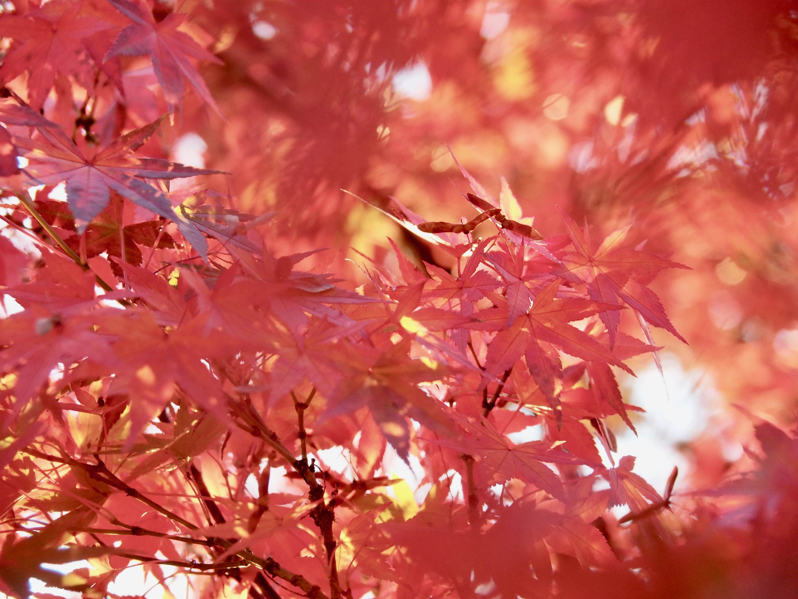 Pink-red Japanese maple leaves