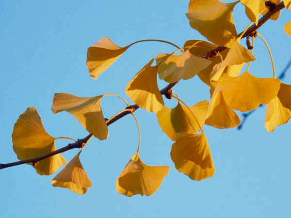 Yellow ginkgo leaves and blue sky
