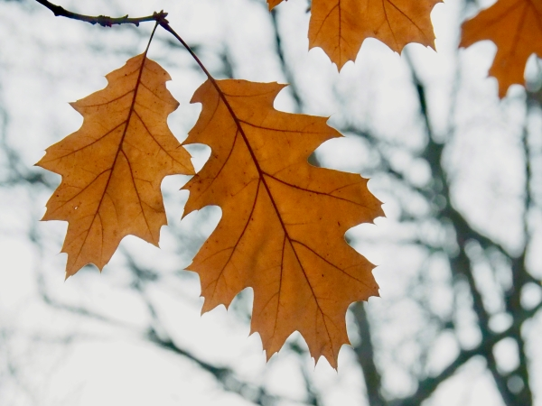 Brown oak leaves and white sky with bare branches