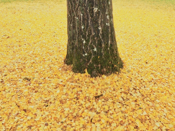 Tree trunk surrounded by yellow ginkgo leaves