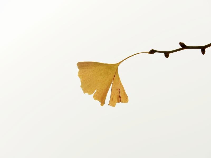 Yellow ginkgo leaf in white sky