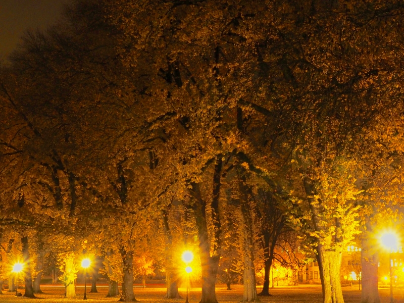 Large elm trees and yellow street lights at night