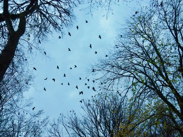 Many crows flying among large bare trees