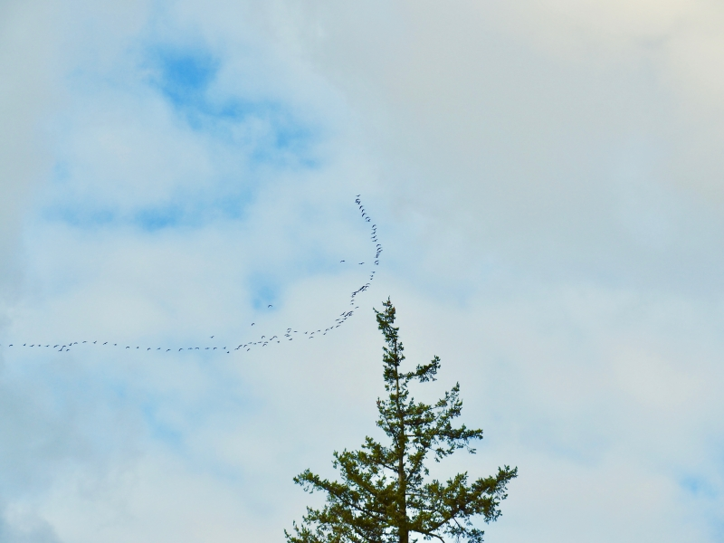 Flock of Canada geese and large tree