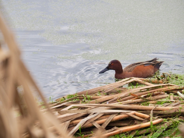 Cinnamon-colored duck floating in marsh