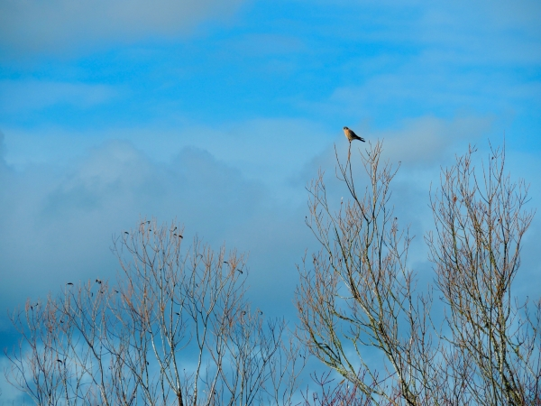 Kestrel perched on small branch at top of bare tree