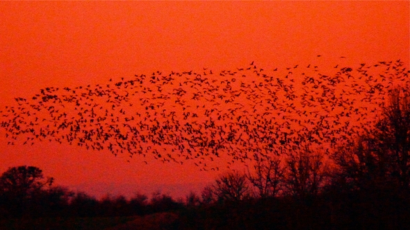 Hundreds of geese flying over bare trees at dusk