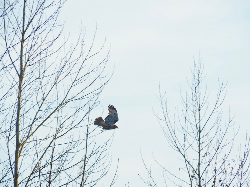 Red-tailed hawk flying out of bare traee