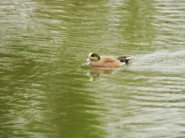 duck paddling in pond