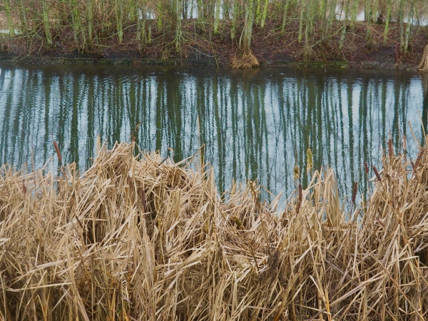 Cattails, trees and reflections in marsh