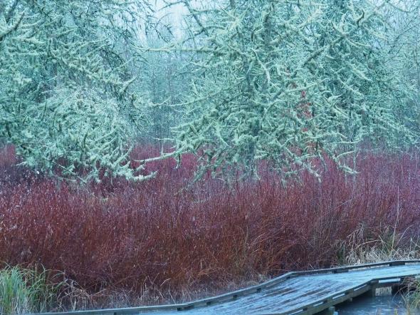 Boardwalk, bare trees & shrubs in marsh