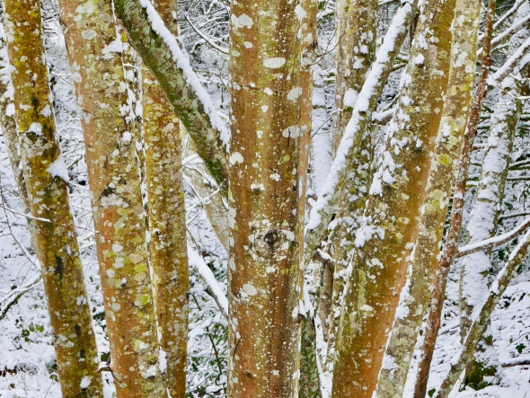 Tree trunks and snow