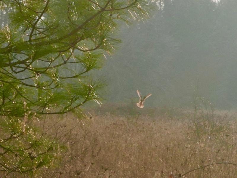 Marsh hawk hovering over meadow