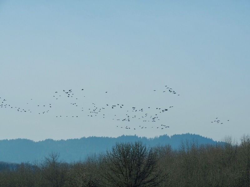 Flock of geese flying overt ridge and bare trees