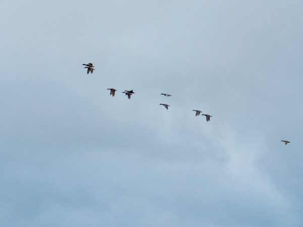 Small flock of mallard ducks flying