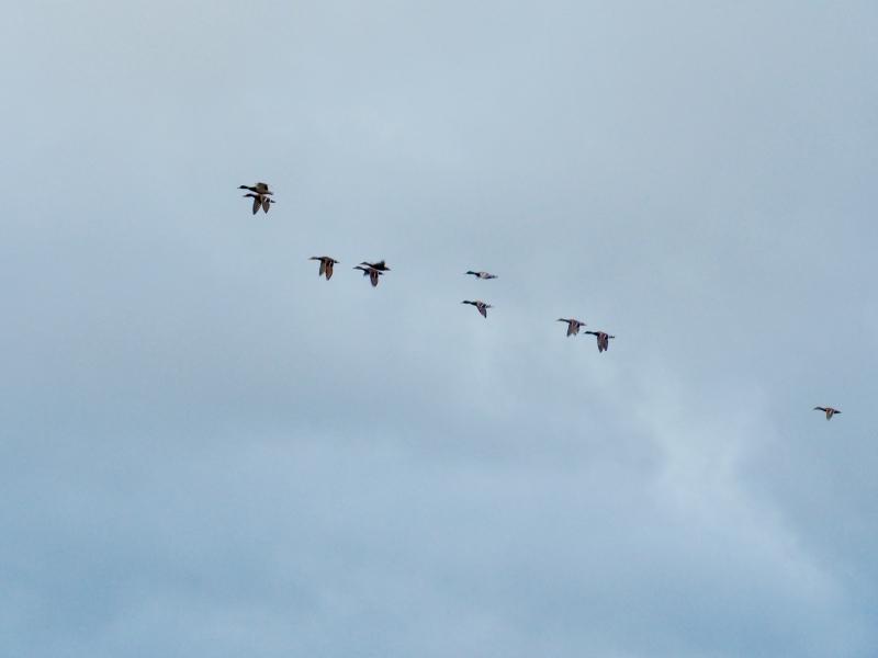 Small flock of mallard ducks flying