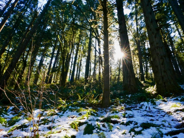 Old-growth forest with low-angle sun and snow on ground
