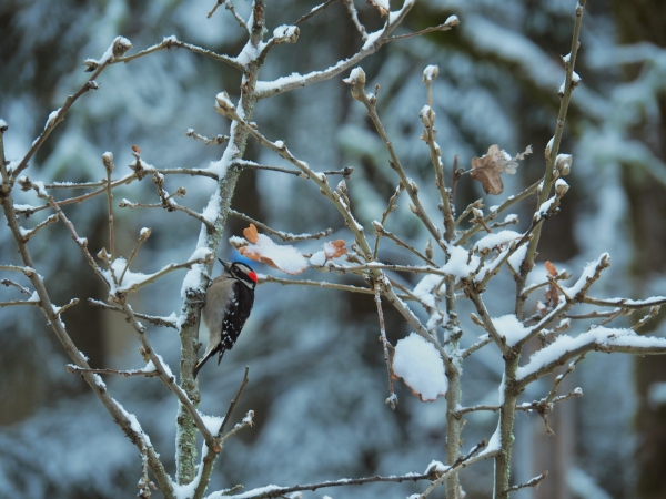 Downy woodpecker in tree with snow on branches