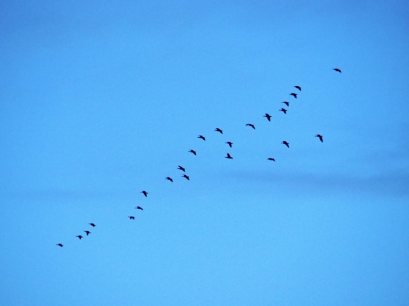 Small flock of Canada geese flying