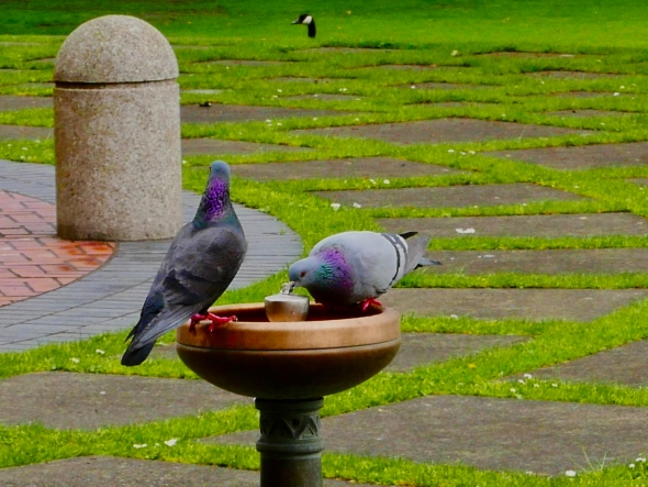 Two pigeons sharing water fountain