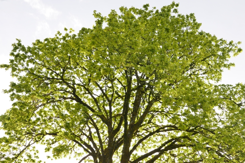 Large maple tree covered in green foliage