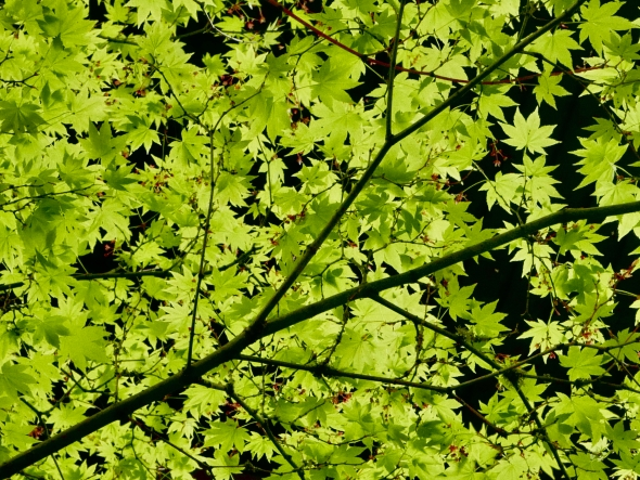 Many green maple leaves