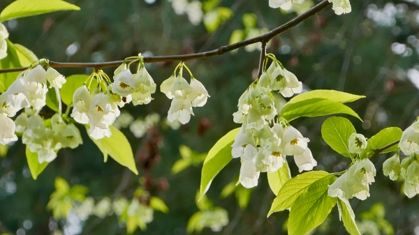Tree branch covered in silver bell flowers