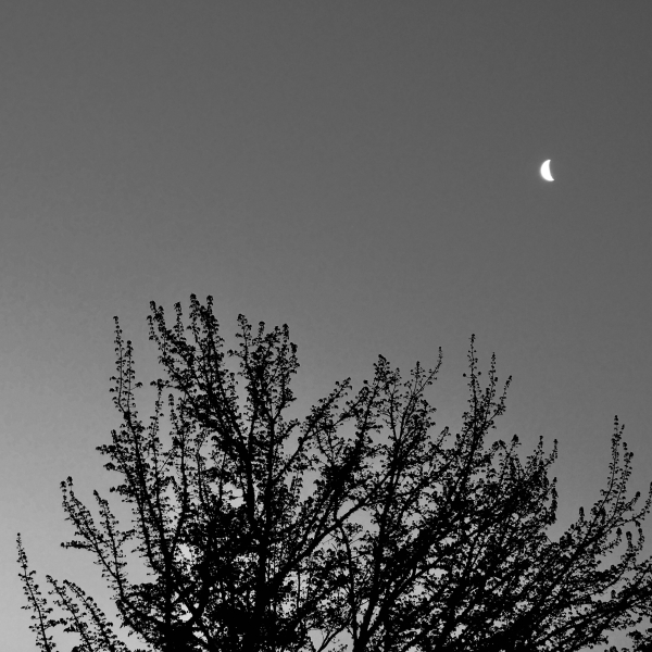 Thick crescent moon over maple tree at dawn