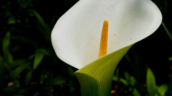 White flower of calla lily