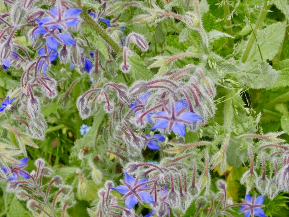 Blue flowers with green leaves and furry pink stems