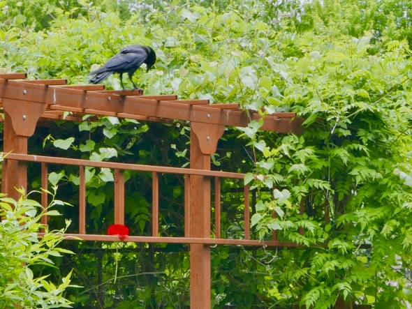 Crow on trellis looking at red poppy